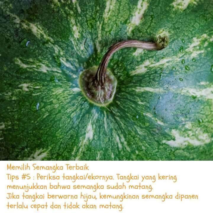 semangka-4