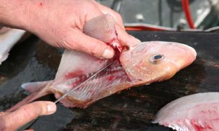 Tips Fillet Ikan Bersama Chef Juna